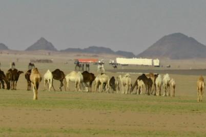 صحاري شمال وادي الدواسر تكتسي بالأخضر
